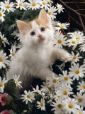 Domestic Cat, Turkish Van Kitten Among White Dasies with Pink Primulas Prints by Jane Burton