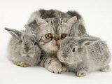 Silver Exotic Cat and Two Silver Baby Rabbits Posters by Jane Burton
