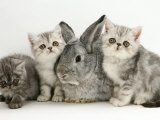 Three Silver Exotic Kittens with Silver Lop Rabbit Photographic Print by Jane Burton
