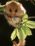 Common Dormouse, Belgium Photographic Print by De Meester