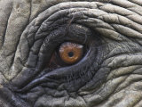 Close up of Indian Elephant Eye,(Domestic), Kaziranga National Park, Assam, India Photographic Print by Nick Garbutt