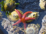 Blood Star, with Limpets and Barnacles Exposed at Low Tide, Tongue Point, Washington, USA Prints by Georgette Douwma