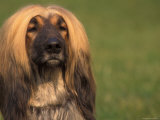 Afghan Hound Face Portrait Photographic Print by Adriano Bacchella