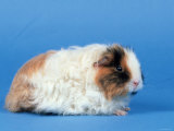 Texel Guinea Pig Photographic Print by Petra Wegner