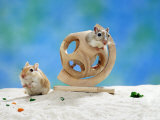 Gerbil at Play Photographic Print by  Steimer