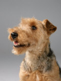 Welsh Terrier Photographic Print by Petra Wegner