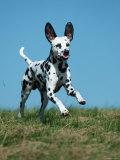 Juvenile Dalmatian Dog Running Outdoors Posters by Petra Wegner