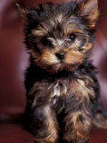 Yorkshire Terrier Puppy Portrait Fotografisk tryk af Adriano Bacchella