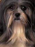 Lhasa Apso Portrait Posters by Adriano Bacchella
