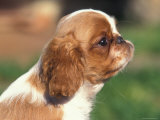 King Charles Cavalier Spaniel Puppy Profile Photographic Print by Adriano Bacchella