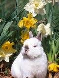 Netherland Dwarf Dometic Rabbit Amongst Daffodils, USA Photographic Print by Lynn M. Stone