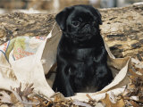 Pug Puppy in Sacking, USA Print by Lynn M. Stone