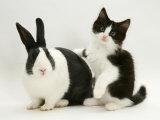 Black Dutch Rabbit with Black-And-White Kitten Photographie par Jane Burton