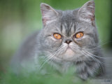 Exotic Shorthair Cat, Blue-Tabby Posters by De Meester