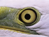 Great Egret, Close up of Eye, Pusztaszer, Hungary Photo by Bence Mate