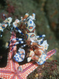 Harlequin Shrimp, Starfish Prey, Upside Down to Prevent It from Escaping, Andaman Sea, Thailand Prints by Georgette Douwma