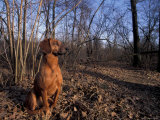 Tyrolean Bloodhound Sitting in Dry Leaves in Woodland Photographic Print by Adriano Bacchella
