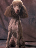 Brown Miniature Poodle Studio Portrait with Full Ears But Most of Its Hair Clipped Photo by Adriano Bacchella