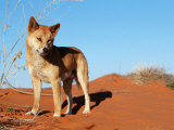 Dingo on Sand Dunes, Northern Territory, Australia Photographic Print by  Bartussek