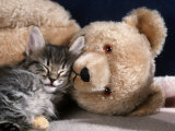 Norwegian Forest Kitten Asleep with Teddy Bear Posters par Petra Wegner