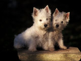 Domestic Dogs, Two West Highland Terrier / Westie Puppies Sitting Together Photographic Print by Adriano Bacchella