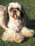 Shih Tzu Lying on Grass with Facial Hair Cut Short and Showing Hairy Paws Posters by Adriano Bacchella