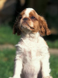 King Charles Cavalier Spaniel Puppy Portrait Premium Photographic Print by Adriano Bacchella