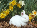 Baby Netherland Dwarf Rabbit, Amongst Daffodils, USA Photographic Print by Lynn M. Stone