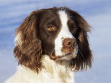 English Springer Spaniel Portrait, Wisconsin, USA Posters by Lynn M. Stone