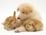White German Shepherd Dog Puppy with Sandy Lop Baby Rabbits Affiches par Jane Burton