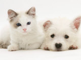 Ragdoll Kitten with West Highland White Terrier Puppy Photographic Print by Jane Burton
