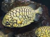 Pineconefish, Seattle Aquarium, USA Fotografisk tryk af Georgette Douwma