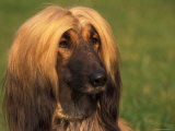 Domesitic Dog, Afghan Hound Face Portrait Photographic Print by Adriano Bacchella