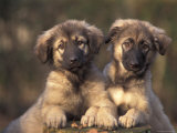 Domestic Dogs, Two Owatcha Puppies (Malamute and Wolf Mix) Photographic Print by Adriano Bacchella