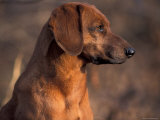 Tyrolean Bloodhound Portrait Photographic Print by Adriano Bacchella
