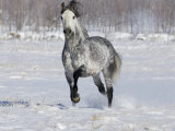 Grey Andalusian Stallion Trotting in Snow, Longmont, Colorado, USA Photographic Print by Carol Walker