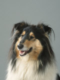 Collie Premium Photographic Print by Petra Wegner