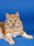 Ginger Norwegian Forest Cat Photographic Print by Petra Wegner