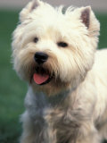 West Highland Terrier / Westie Panting Premium Photographic Print by Adriano Bacchella