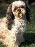 Shih Tzu with Facial Hair Cut Short Premium Photographic Print by Adriano Bacchella