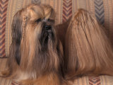 Lhasa Apso with Plaited Hair Looking Back Print by Adriano Bacchella