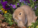 Baby Holland Lop Eared Rabbit, USA Photographic Print by Lynn M. Stone