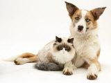 Fluffy Kitten Cuddled up with Dog Photo by Jane Burton