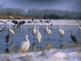 Great Egrets, and Grey Herons, on Frozen Lake, Pusztaszer, Hungary Poster by Bence Mate