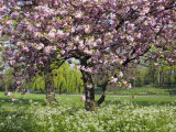 Cherry Tree, in Blossom, Regents Park, London, UK Poster by Georgette Douwma