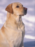 Labrador Retriever Portrait in Snow Prints by Adriano Bacchella