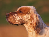 English Setter Profile Poster by Adriano Bacchella