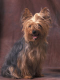 Yorkshire Terrier Studio Portrait Photographic Print by Adriano Bacchella