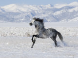 Grey Andalusian Stallion Trotting in Snow, Longmont, Colorado, USA Poster by Carol Walker