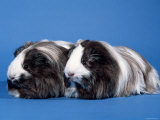Two Sheltie Guinea Pigs Posters by Petra Wegner